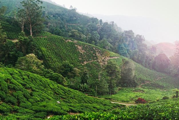 Plantation de thé malaisienne dans les cameron highlands