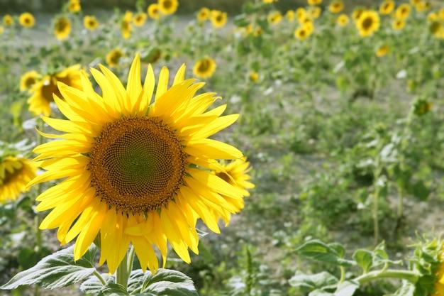 Plantation de tournesol fleurs jaune vif