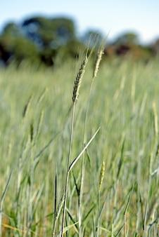 Plantation de triticale, un nouveau fourrage hybride