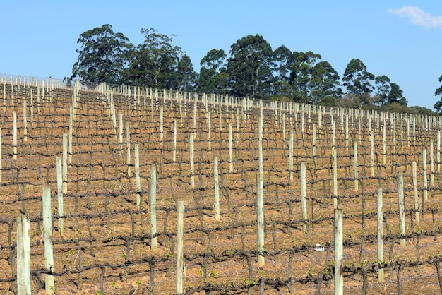 Plantation de vigne en période de repos