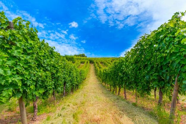 Plantation de vignes en culture