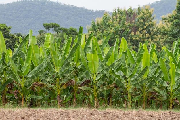 Plantations de bananes vertes dans la province de phetchaburi, thaïlande