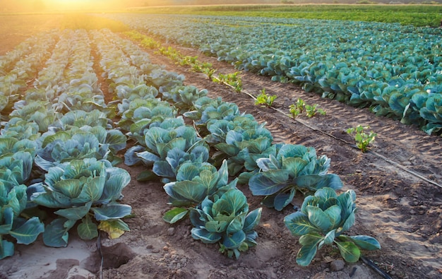 Les plantations de choux poussent dans les champs. légumes frais et biologiques. agriculture paysagère. les terres agricoles