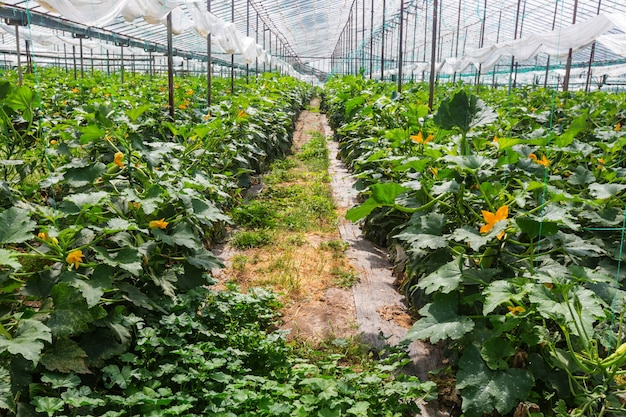 Plantations de légumes dans une serre.