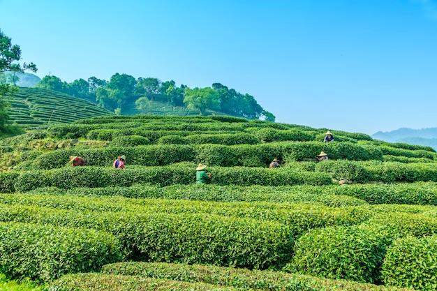 Plantations de plantes arbustives organiques travaillent