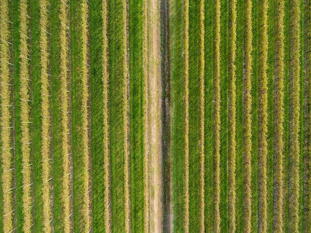 Plantations de raisins d'une hauteur. plantations de raisins.