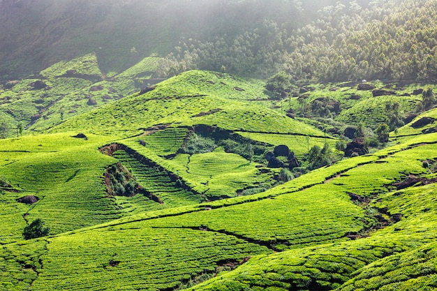 Plantations de thé au kerala, inde