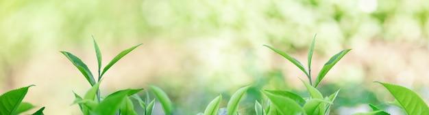 Plantations de thé et bokeh dans un panorama de lumière naturelle pour la page web de baguage