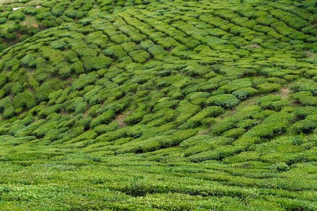 Plantations de thé cameron valley. collines vertes dans les hautes terres de malaisie. production de thé. buissons verts de jeune thé.
