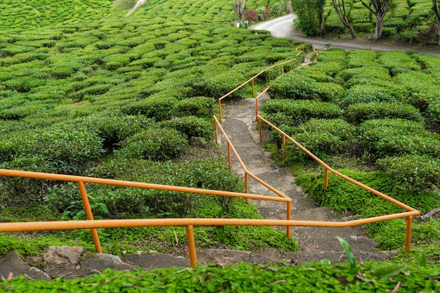 Plantations de thé cameron valley. collines vertes dans les hautes terres de malaisie.