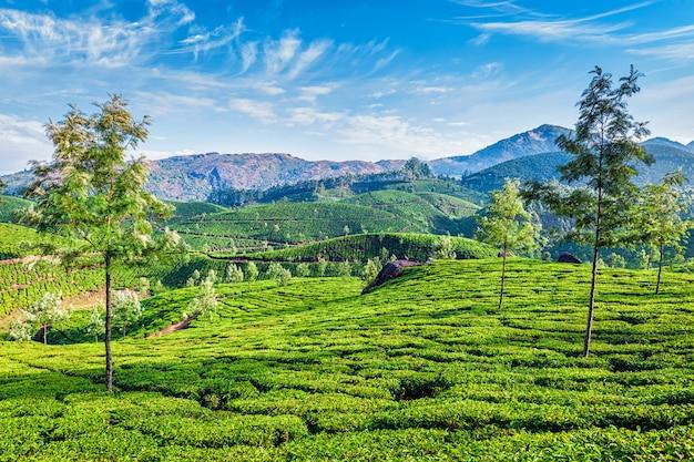 Plantations de thé, munnar, kerala, inde