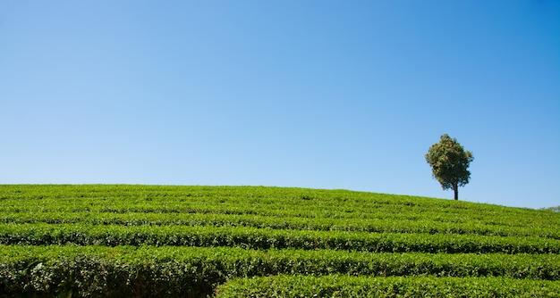 Plantations de thé en thaïlande.