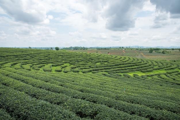 Plantations de thé vert, champ de thé vert avec ciel