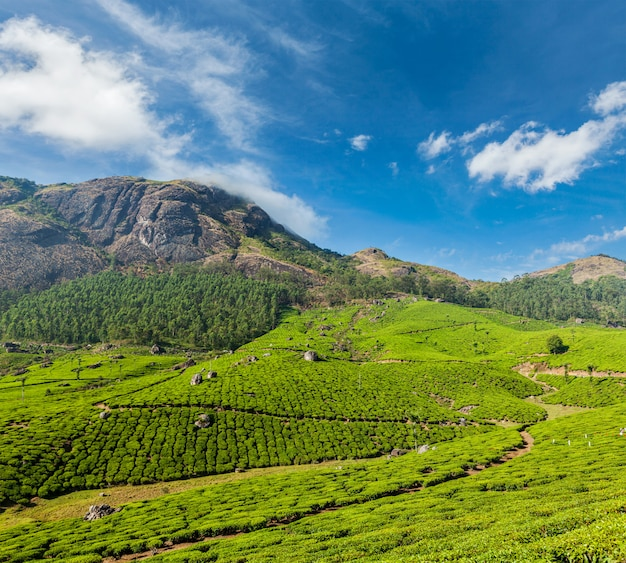 Plantations de thé vert à munnar, kerala, inde