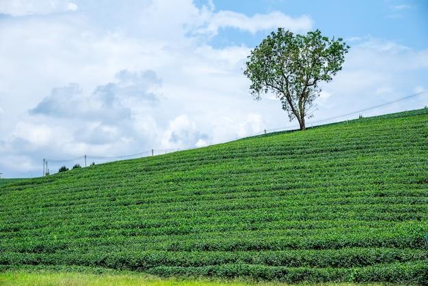 Plantations de thé vert
