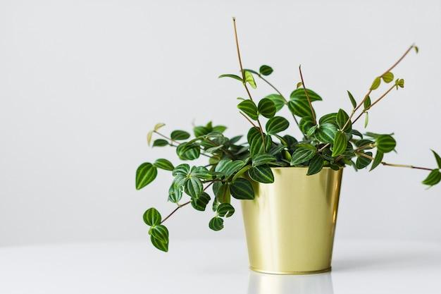 Plante d'accueil succulente dans un pot en or sur fond blanc.