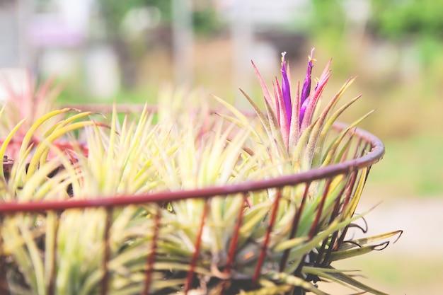 Plante aérienne avec nom scientifique tillandsia poussant dans un jardin. plante décorée