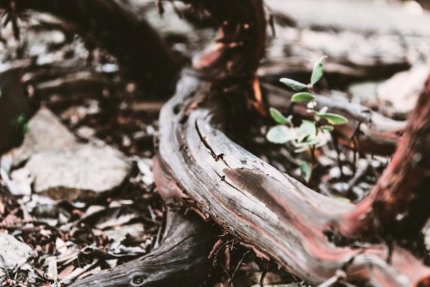 Une plante appelée manzanita mexicaine (arctostaphylos pungens) dans le sol.