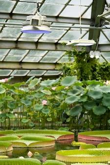 Plante aquatique amazonian victoria flottant en serre
