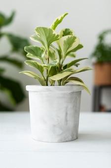 Plante blanche de peperomia en pot dans la maison
