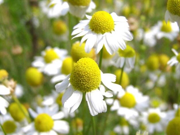 Plante de camomille (chamaemelum) fleur blanche et jaune