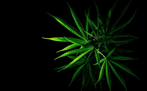 Plante de cannabis. le cannabis sativa (chanvre) contient du cbd. feuilles vertes de marijuana (mauvaise herbe)