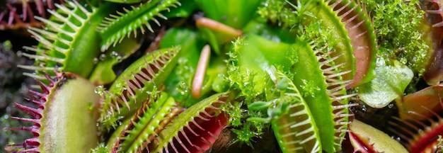 Plante carnassière prédatrice venus - dionaea muscipula.
