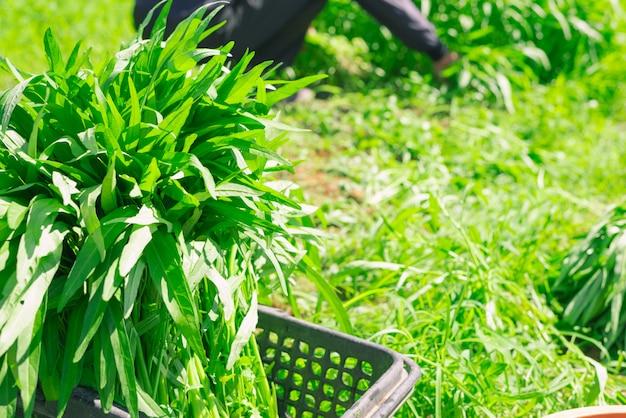 Plante de convolvulus de l'eau chinoise de plus en plus à la ferme en plein air, feuilles vertes d'épinards de l'eau