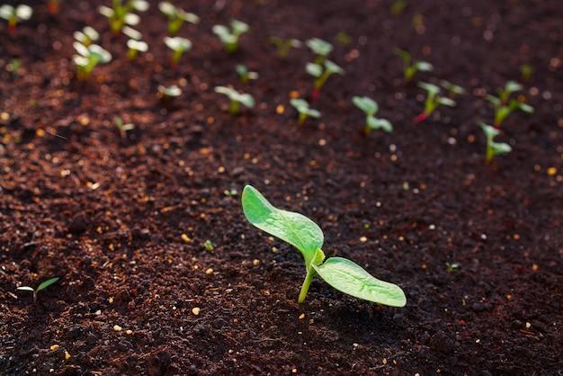 Plante de courgette à partir de plants dans un verger