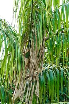 Une plante dans la jungle tropicale. palmier avec des feuilles qui pendent.