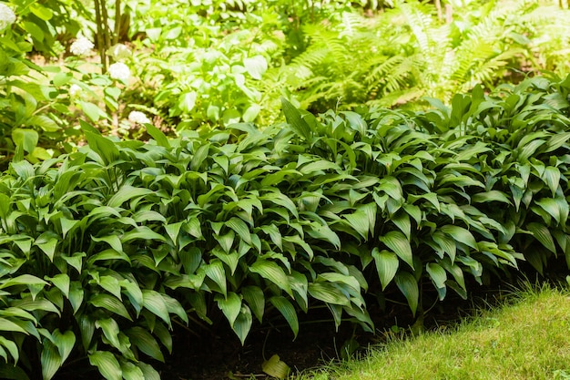 Plante domestique. hosta dans le jardin. plante hôte dans le parc