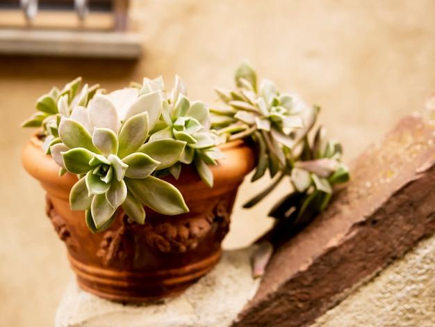 Plante d'echeveria