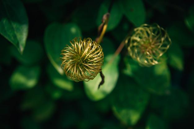 Plante étonnante avec des bourgeons verts et des feuilles au soleil, gros plan. fond de fleur,