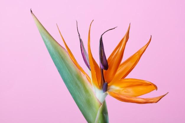 Plante exotique attrayante et intensément colorée, fleur de strelitzia ou oiseau de paradis