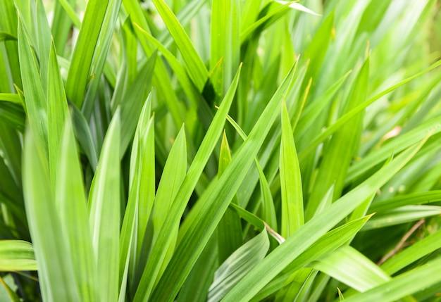 Plante à feuilles de pandan poussant sur le pandan pour ses herbes naturelles