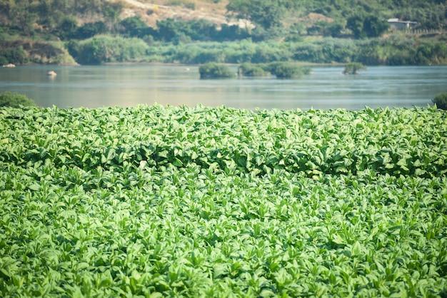 Plante à feuilles de tabac poussant dans l'agriculture agricole en asie avec fond de rivière et de montagne - jeune plantation de feuilles de tabac vert dans le fond du champ de tabac