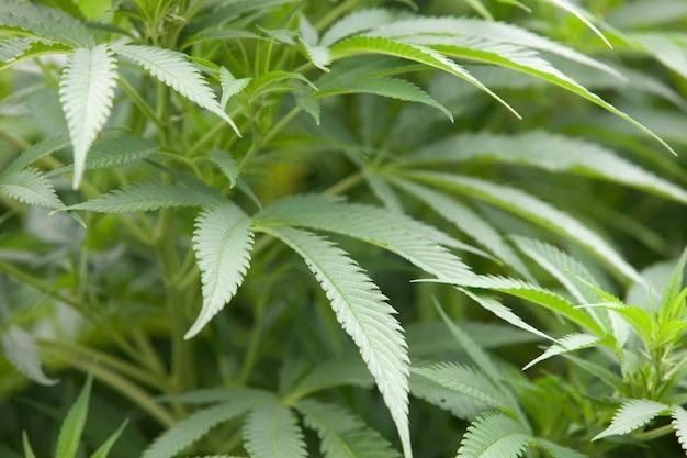 Plante feuillue marijuana se bouchent