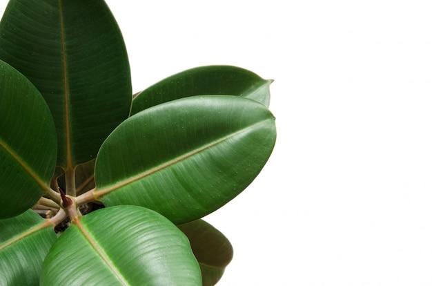 Plante de ficus vert isolé sur blanc