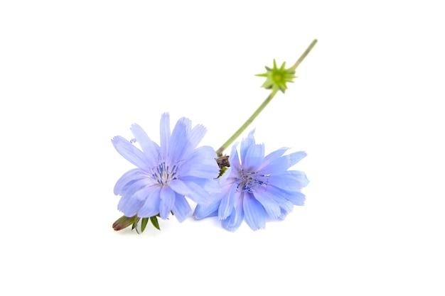 Plante fleur bleue chicorée isolée