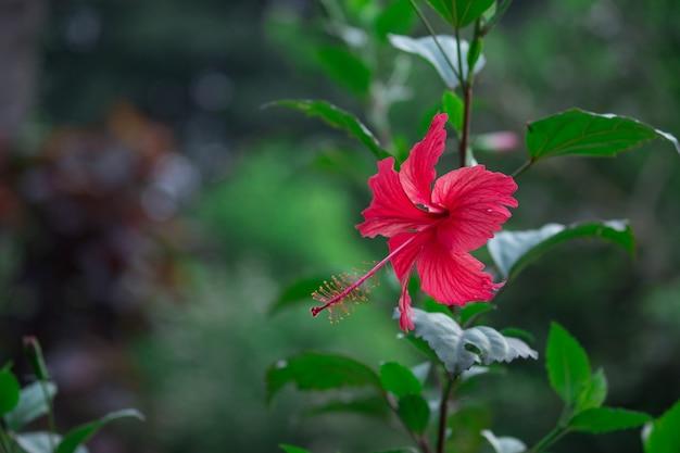 Plante fleur d'hibiscus
