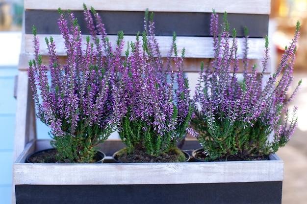 Plante à fleurs de jardin décoratif.