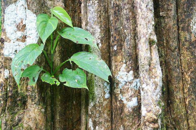 Plante sur fond d'écorce de grand arbre, thaïlande