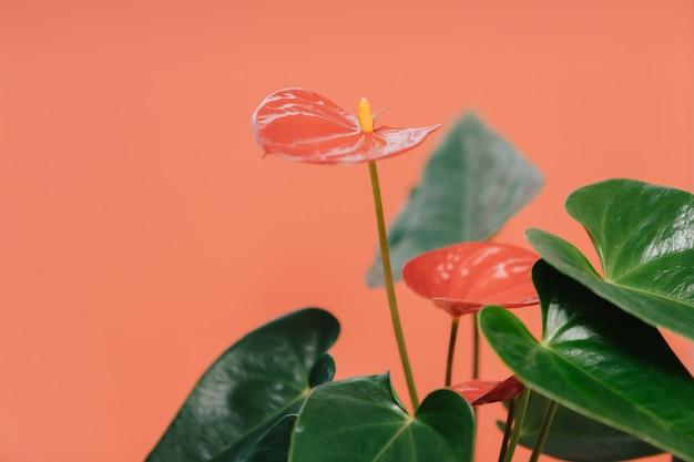 Plante sur fond rouge-rose. anthurium dans un pot orange. fleur de maison à feuilles vertes, inflorescence rouge et étamines jaunes.