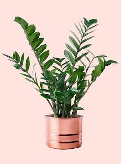 Plante gemme de zanzibar dans un pot