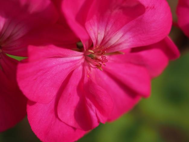Plante de géranium (geraniales) fleur rose