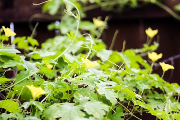 Plante de gourde amère escalade sur treillis