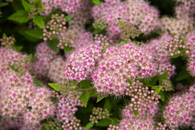 Plante gracieuse avec de nombreux petits bourgeons roses gros plan d'une fleur dans le jardin