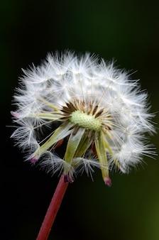 Plante et graines de pissenlit sur fond vert foncé flou