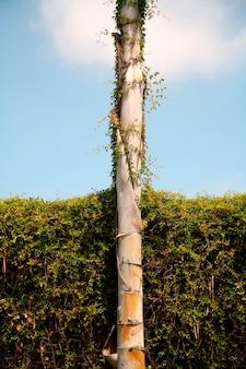Plante grimpante sur bambou