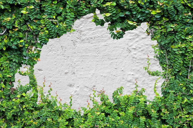 Plante grimpante verte sur mur blanc